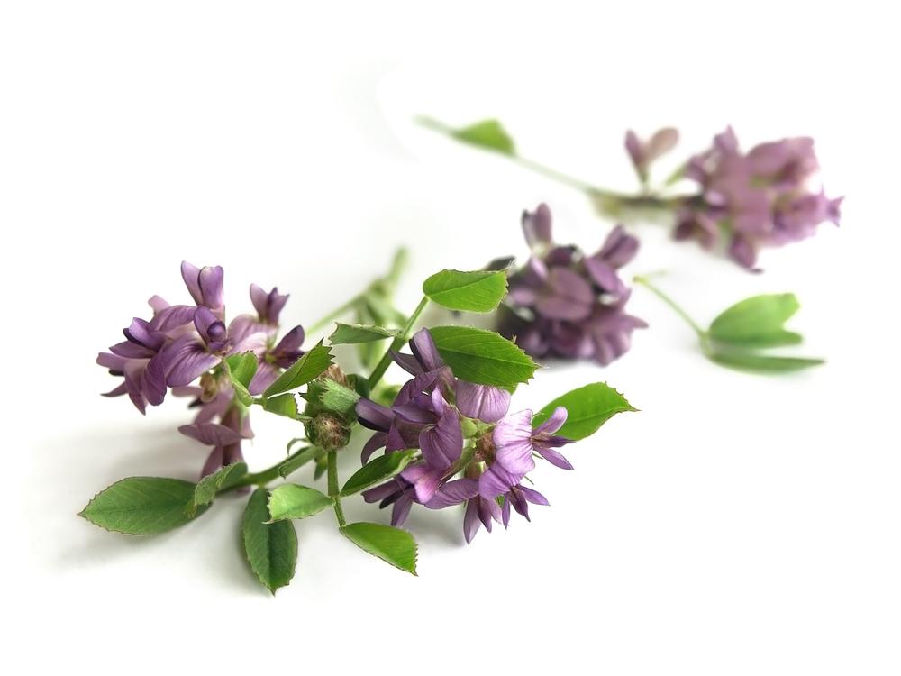 Alfalfa Flowers